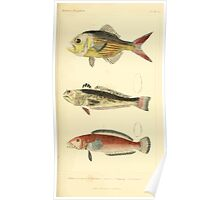 The Animal Kingdom by Georges Cuvier, PA Latreille, and Henry McMurtrie 1834  072 - Pisces Fish Poster