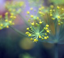 Blossoming Dill by tanjica