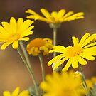 Yellow Daisy by Rosemaree