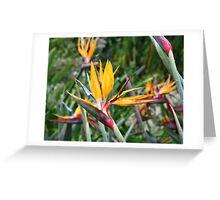 Strelitia reginae - Nelson  Greeting Card
