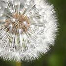 Dandelion by crossmark