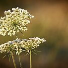 Queen Anne's Lace by crossmark