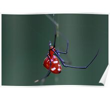 Little Red Riding Hood (Argyrodes miniaceus) Poster