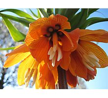 Name this Flower! - Crown Imperial (Thanks Gracey!) Photographic Print