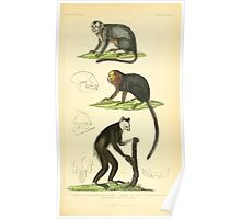 The Animal Kingdom by Georges Cuvier, PA Latreille, and Henry McMurtrie 1834 579 - Mammalia Mammals Poster