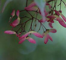 Japanese Maple seeds by Paul Kavsak
