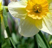 Daffodil by lbballard