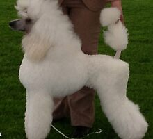 Awesome Poodle Standard by welovethedogs