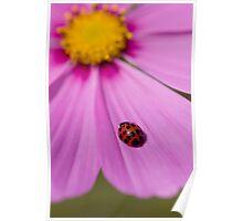 Ladybird on a Comos petal! Poster
