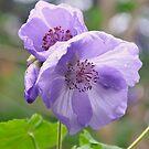 Purple flowers by Finbarr Reilly