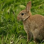 Wild Baby Rabbit by Franco De Luca Calce