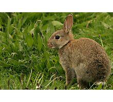 Wild Baby Rabbit Photographic Print