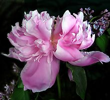 Peony Petals by Jessica Jenney