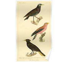 The Animal Kingdom by Georges Cuvier, PA Latreille, and Henry McMurtrie 1834 688 - Aves Avians Birds Poster
