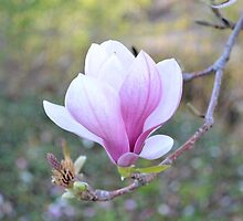 Saucer Magnolia by Kathleen Brant