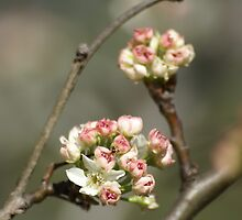 Pear Tree Blossoms by Becky  Thackston