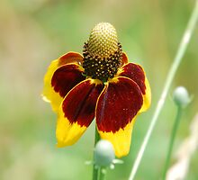 Mexican Hat Flower by TBlanton