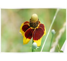 Mexican Hat Flower Poster