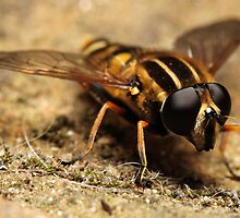 Hover Fly by Daniel Brown