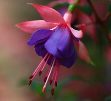 Softness Of Fuschia by Deborah  Benoit