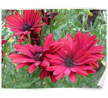 Tangle of Red Daisies Poster