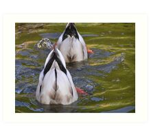 down under ducks Art Print