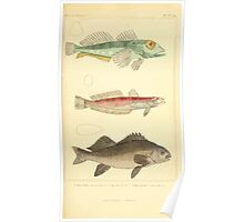 The Animal Kingdom by Georges Cuvier, PA Latreille, and Henry McMurtrie 1834  149 - Pisces Fish Poster