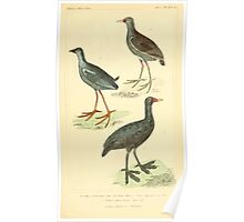 The Animal Kingdom by Georges Cuvier, PA Latreille, and Henry McMurtrie 1834 735 - Aves Avians Birds Poster