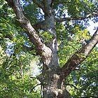 Giant Oak Tree by RainWolf