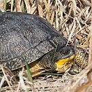 Blanding's Turtle Side by Deb Fedeler