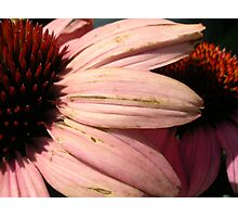 Decaying Petals Photographic Print