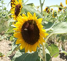 Bees and Sunflowers by nancy dixon