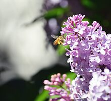 Bee on Lilac #6 by MerDeCadence