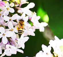 Bee on Lilac 7 by MerDeCadence