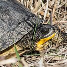 Blanding's Turtle Close by Deb Fedeler