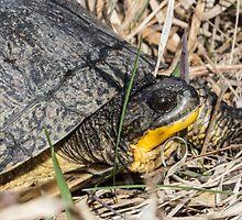 Blanding's Turtle Close by Deb Fedeler