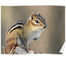 Tattered Ear Chipmunk Poster
