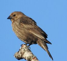 Mrs. Brown-headed Cowbird by PeggCampbell