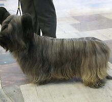 Young Skye Terrier by welovethedogs