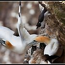 One small step for Gannet kind! by Shaun Whiteman