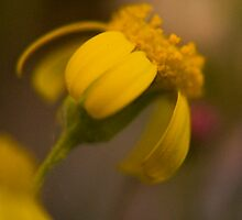 Yellow (from wild flowers collection) by Antanas