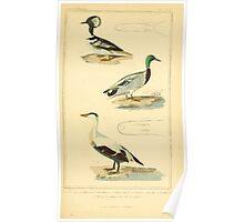 The Animal Kingdom by Georges Cuvier, PA Latreille, and Henry McMurtrie 1834 753 - Aves Avians Birds Poster