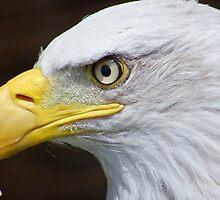 Bald Eagle Macro........ by jdmphotography