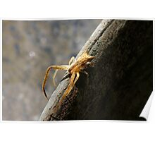 THOMISIDAE Crab Spider Poster