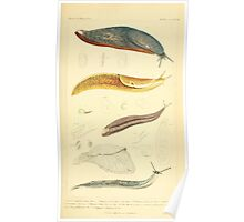 The Animal Kingdom by Georges Cuvier, PA Latreille, and Henry McMurtrie 1834  224 - Mollusca Mollusks Poster
