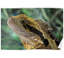 Eastern Water Dragon, Physignathus lesueurii Poster