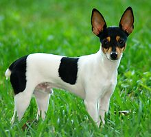 Funky Fox Terrier Smooth Coat by welovethedogs