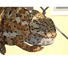 Chameleon Hanging On A Wire Fence Photographic Print