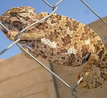 Chameleon In Shades of Brown on Fence by taiche