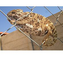 Chameleon In Shades of Brown on Fence Photographic Print